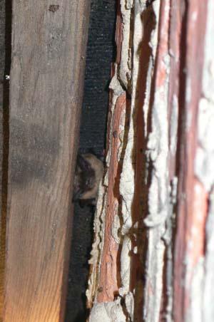 Bat Surveys Buildings